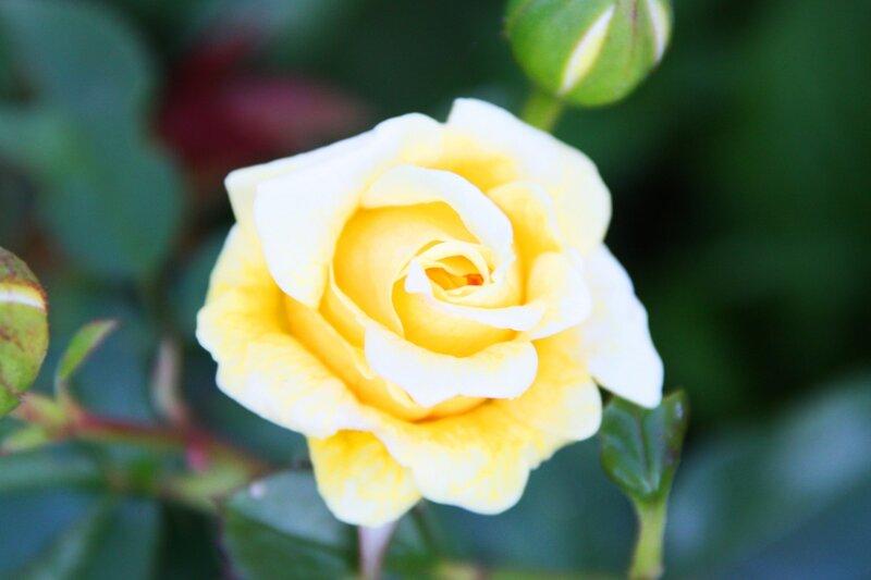 Розы, весенний уход за розами