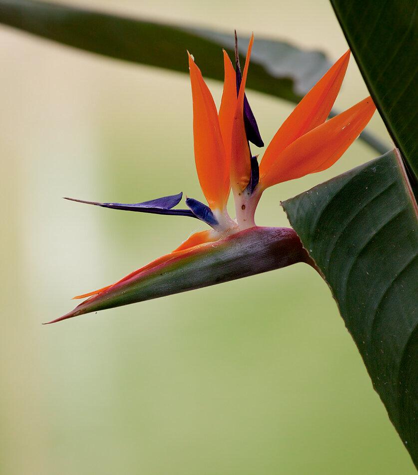 Мужской цветок как называется