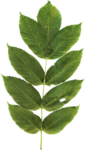 MiMiConcept-Collab Natural Fresh-Elements (18).png