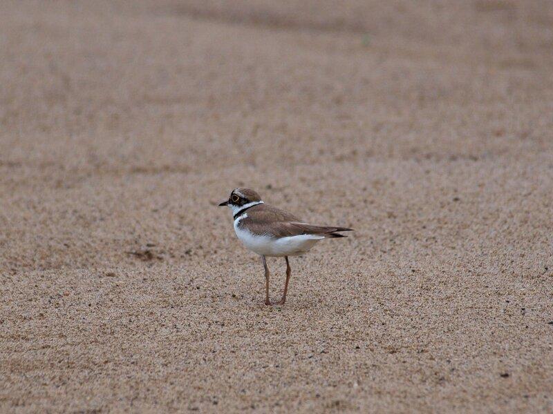Зуек малый (Charadrius dubius) на пляже на реке Вятке
