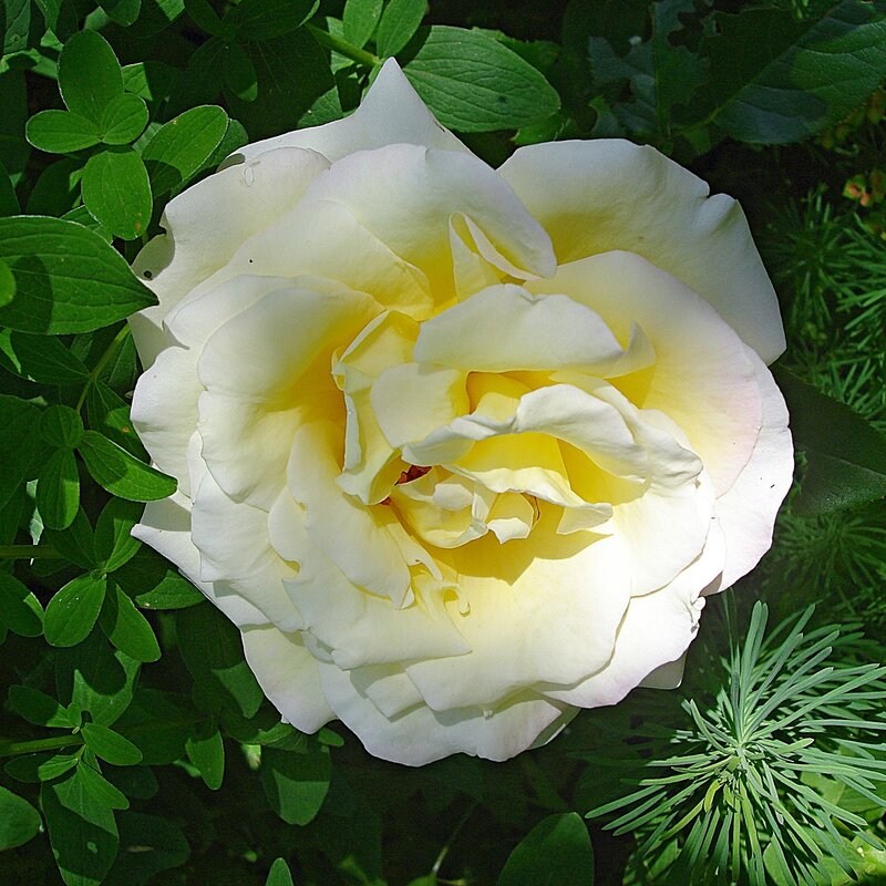 Лето,с.Остров,розы райского садика