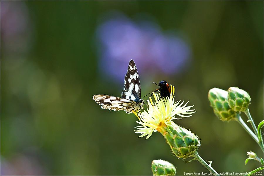 Драка бабочки и жука