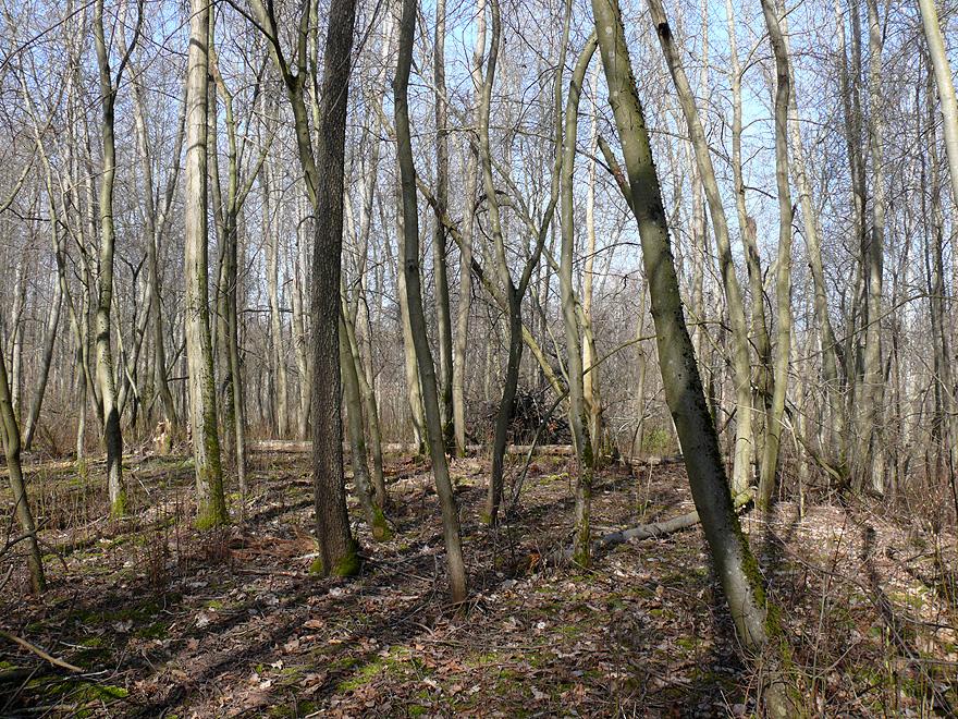 Лес чистый.jpg