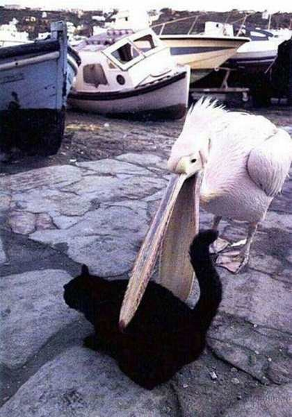 Hungry pelicans
