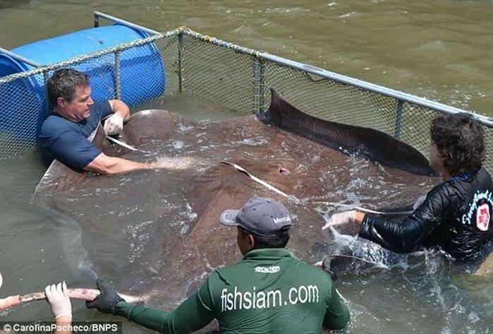 Самую большую рыбу в мире поймали в Таиланде
