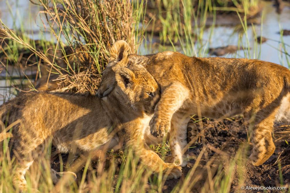 7. Начинает развиваться грива примерно у полугодовалых животных и с возрастом становится больше