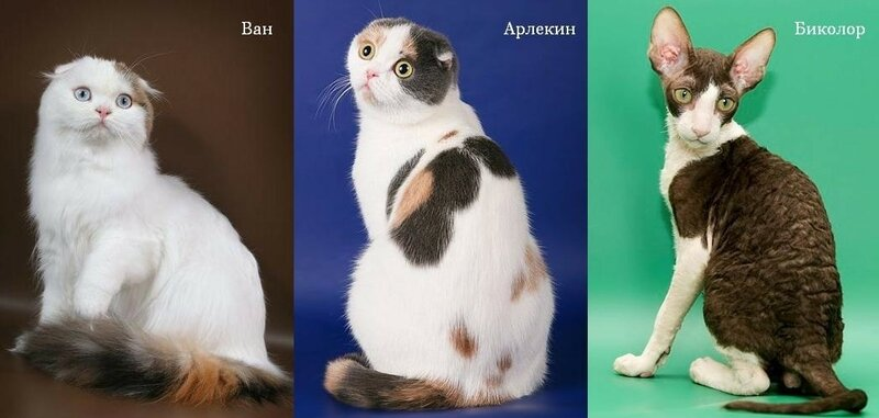 окрас кошек