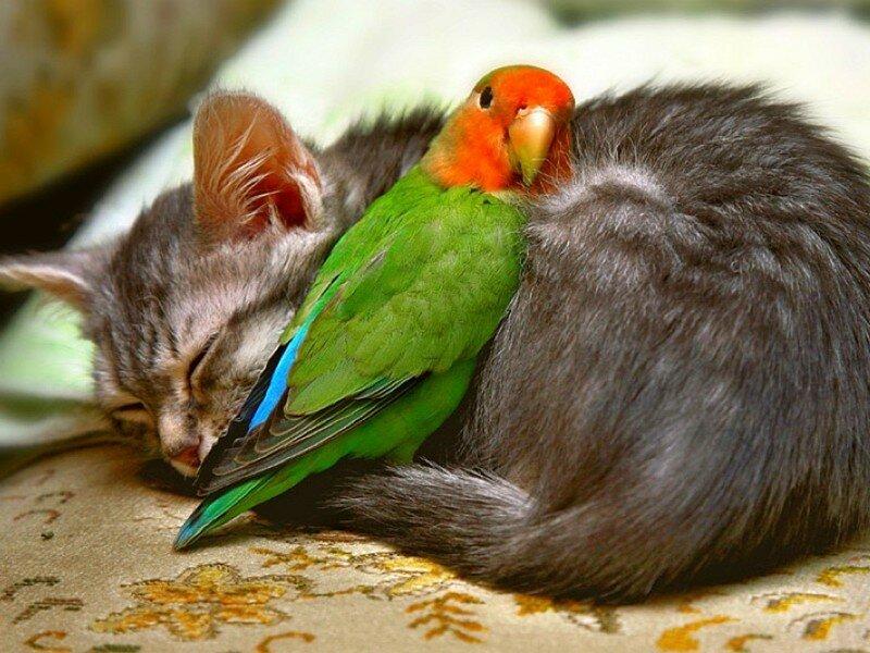 Котенок и попугайчик. Неразлучник — он и в душе неразлучник.