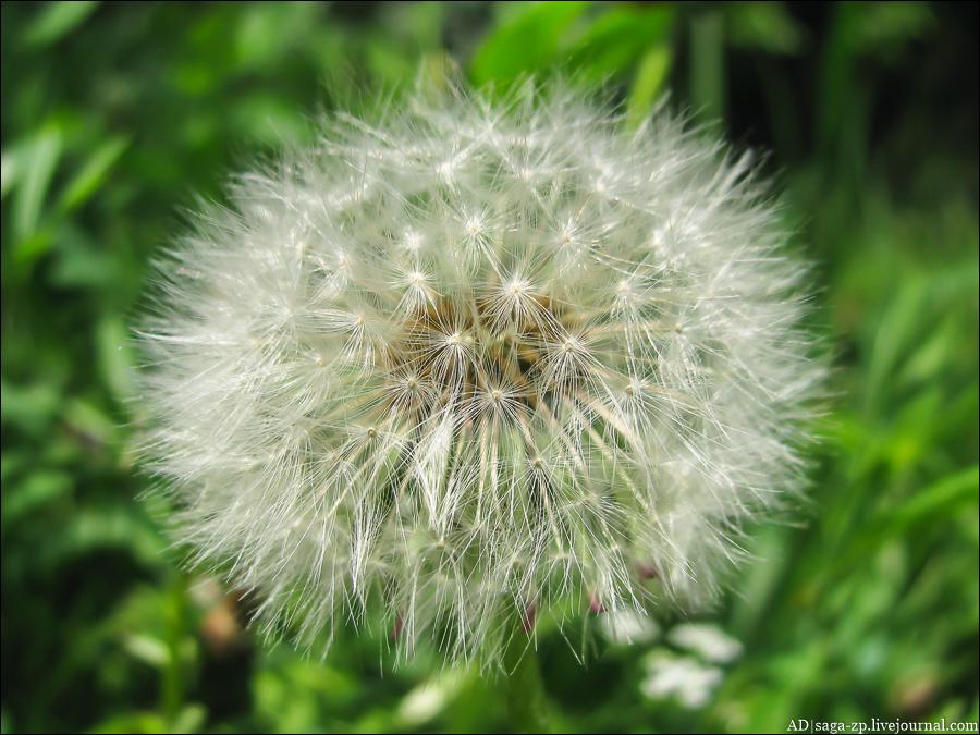 одуванчики, весна, Запорожье