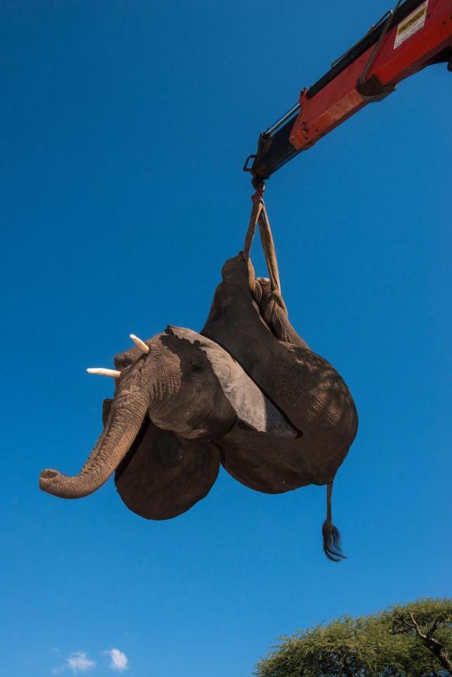 Спасение и перевозка стада слонов