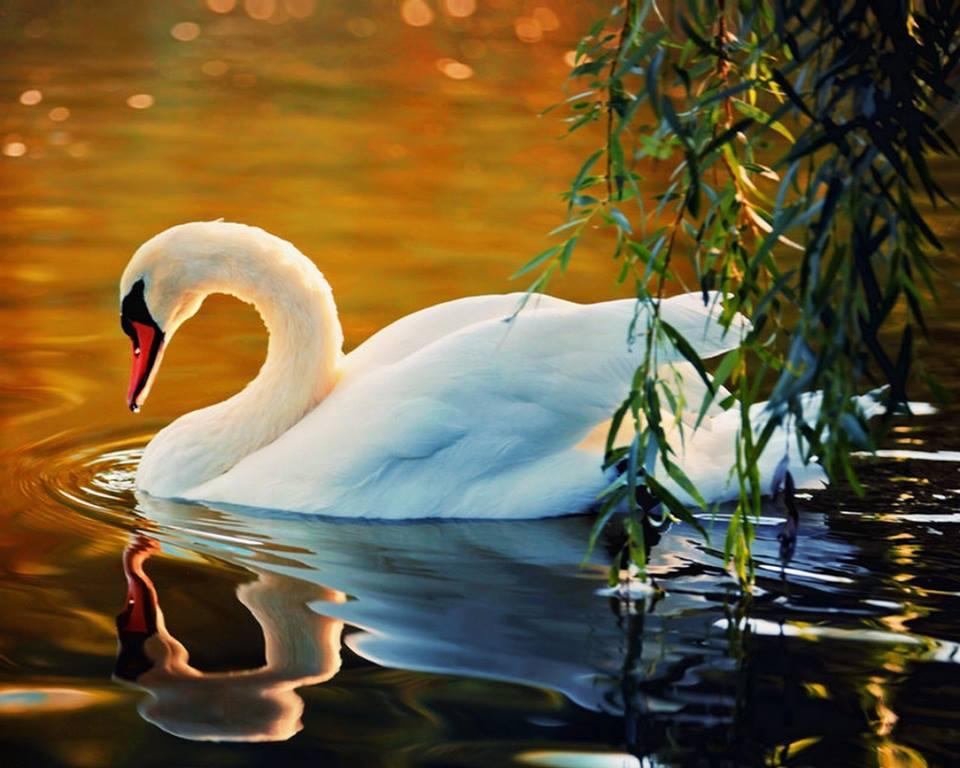 лебедь-7.jpg