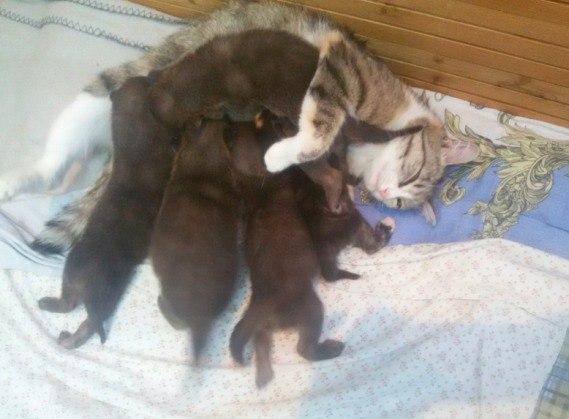 кошка Муська выкормила пятерых диких волчат