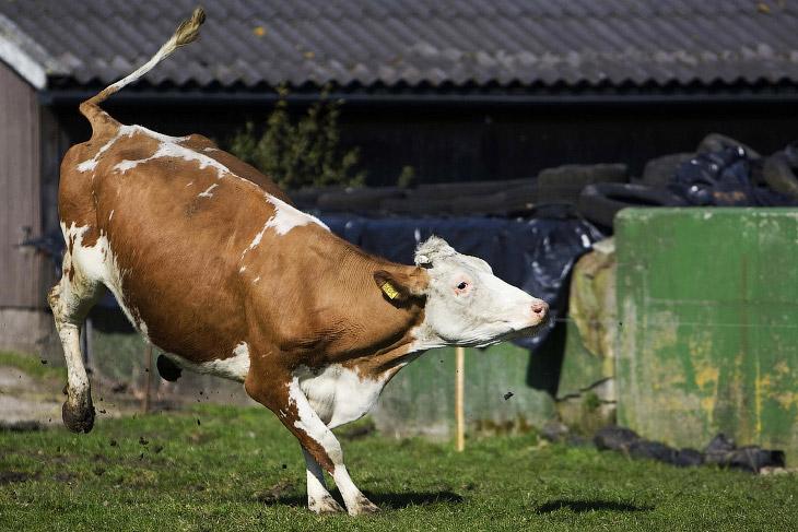 2. У коров хорошо развито чувство прекрасного, и они отлично умеют вписаться в красивый пейзаж. Герм