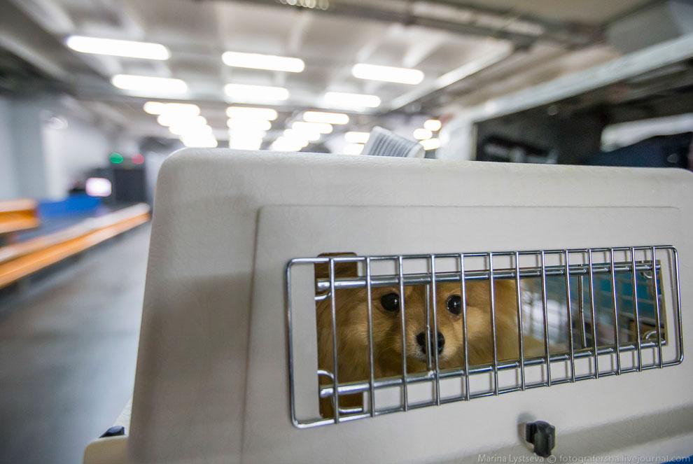 18. Если в багаже находится запрещенный к провозу груз, то собака передними лапами (как лиса на
