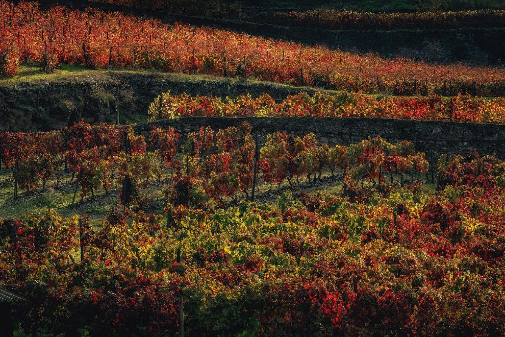 8. Пара солнечных лучей мягко прошлась по крутому склону, позволив оценить картинку виноградных