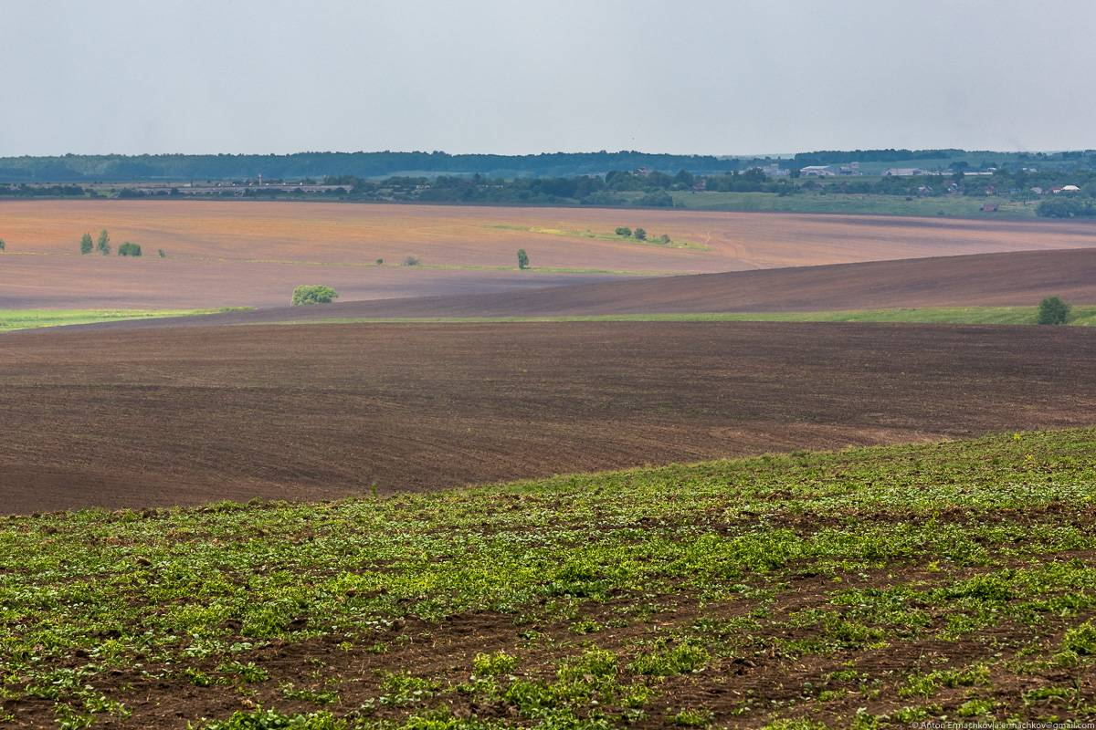 Большинство полей в округе засеяно рапсом: