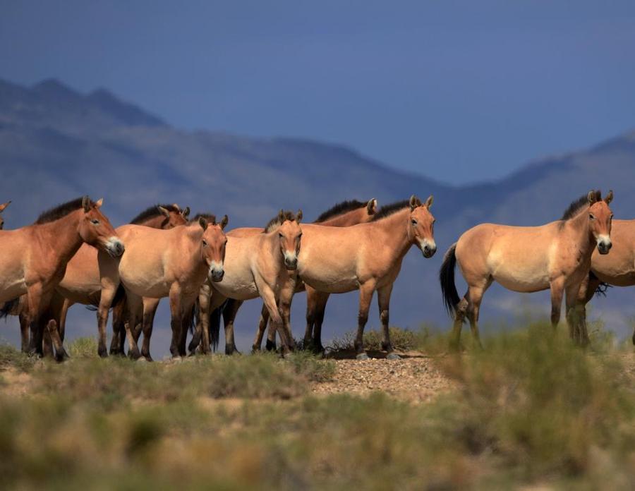 3. Лошадь Пржевальского На сегодняшний день насчитывается всего несколько тысяч особей лошади Пржева