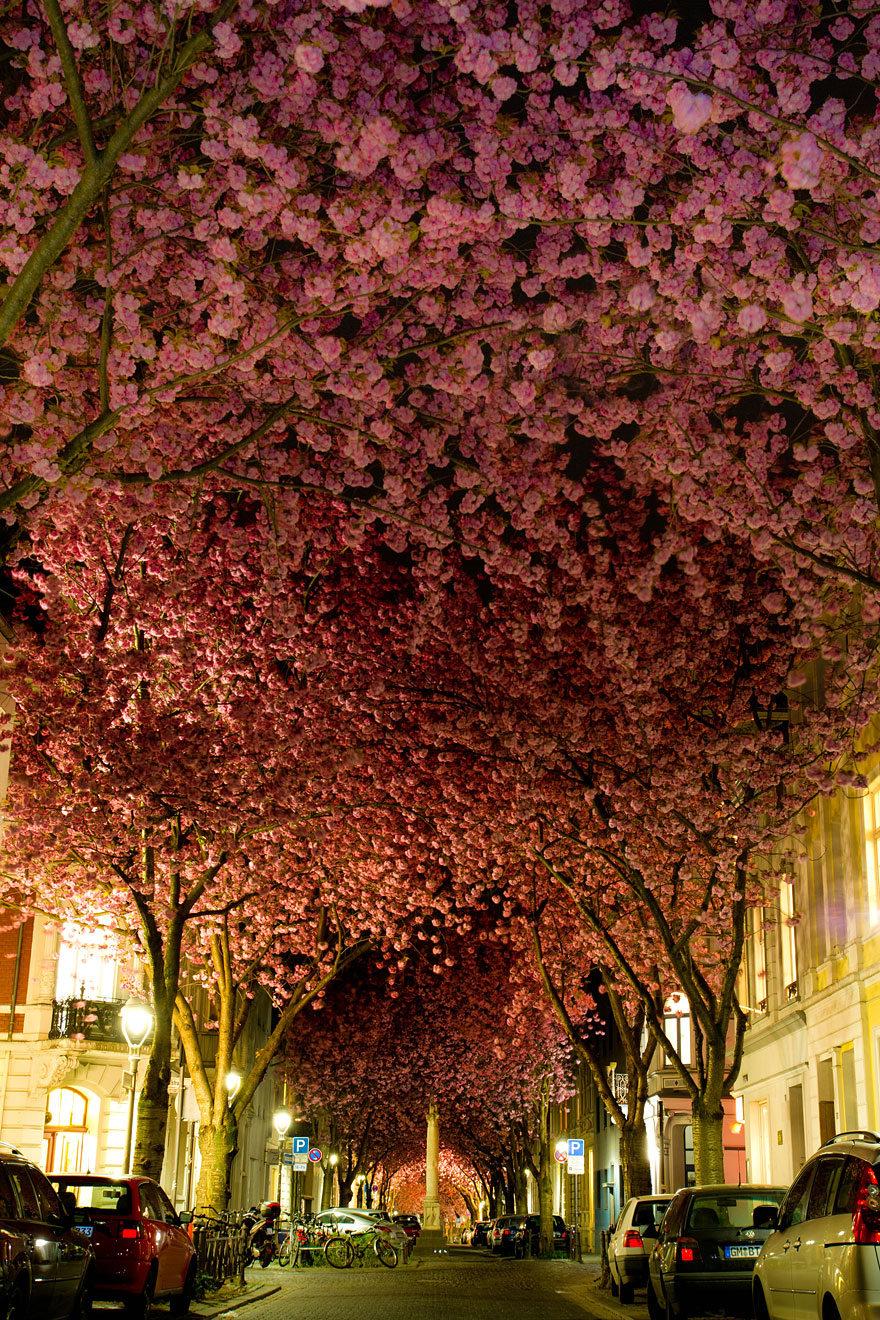 5. Цветущие вишни в Бонне, Германия