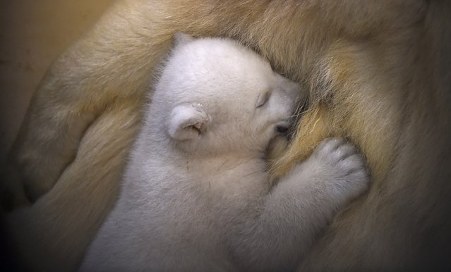 Polar Bear Cub is Unveiled at German Zoo