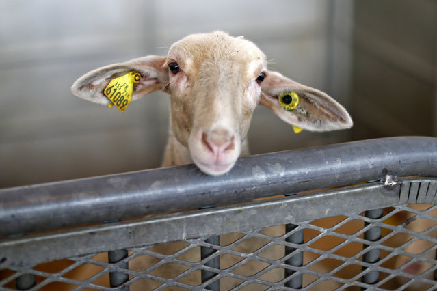 A sheep is pictured on the eve of the opening of the International Agricultural Show in Paris, Franc