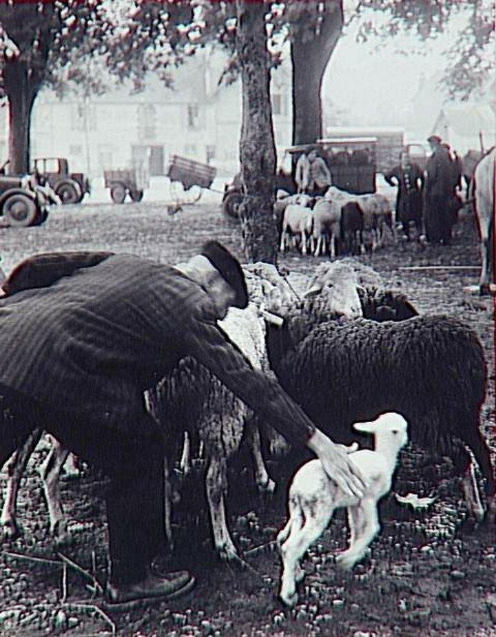 1951. Рынок скота в Пиренеях