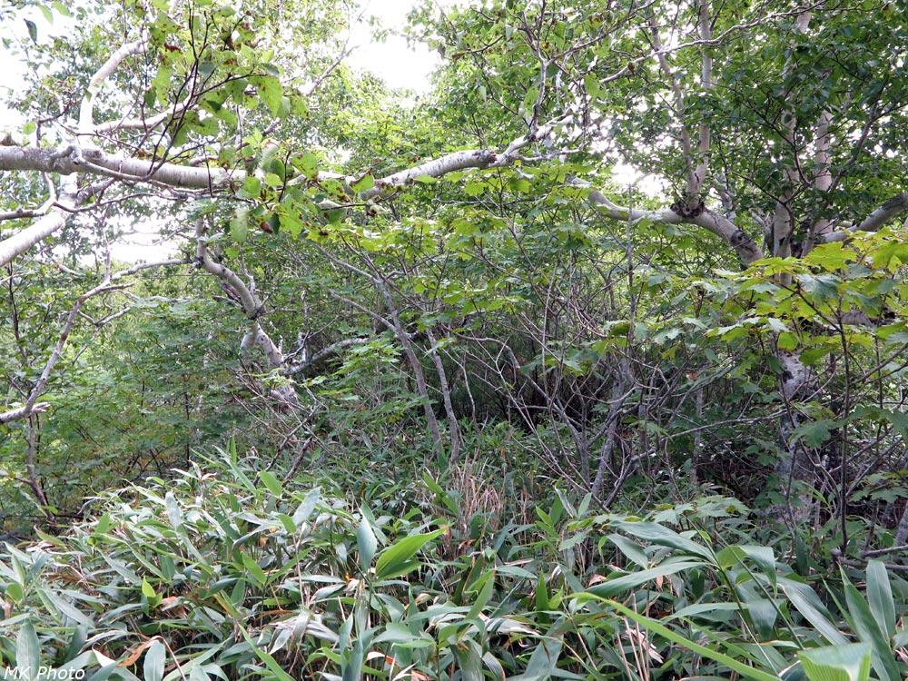 Бамбук, колючие кусты и корявые берёзы