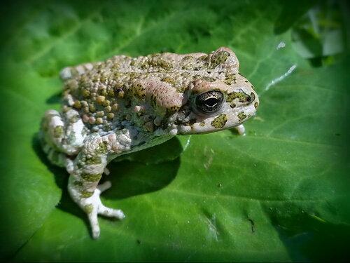 царевна- жабУшка