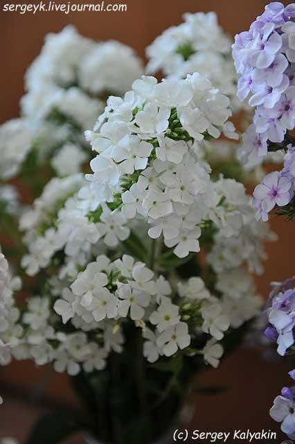 Phlox paniculata Belaya Kroshka 4 (1).jpg