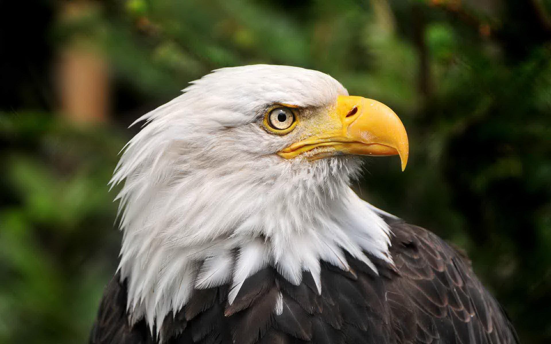 Гордий орел