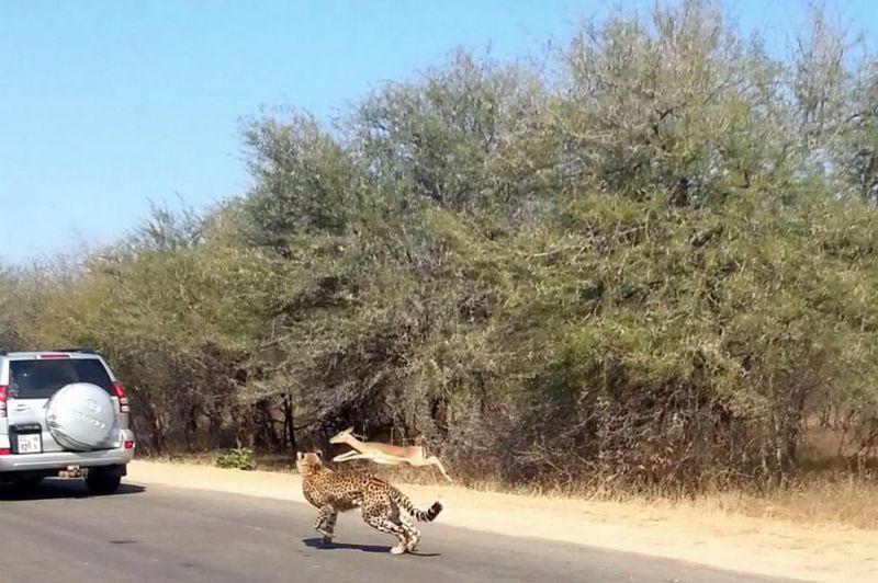 Необычное спасение импалы в Национальном парке Крюгера, Южная Африка