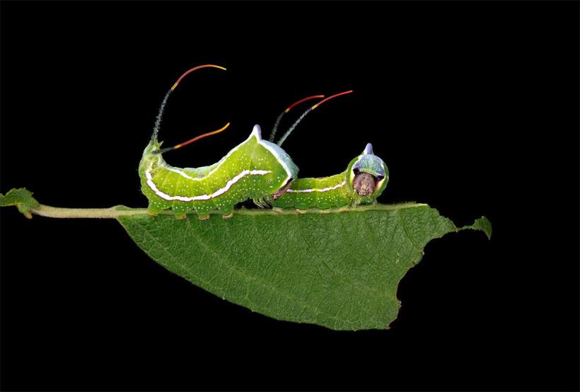 Удивительный мир гусениц (12 фото)
