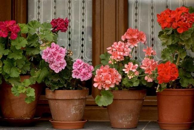 Герань (Pelargonium) дезинфицирует идезодорирует воздух, очищает его отбактерий, помогает бороться