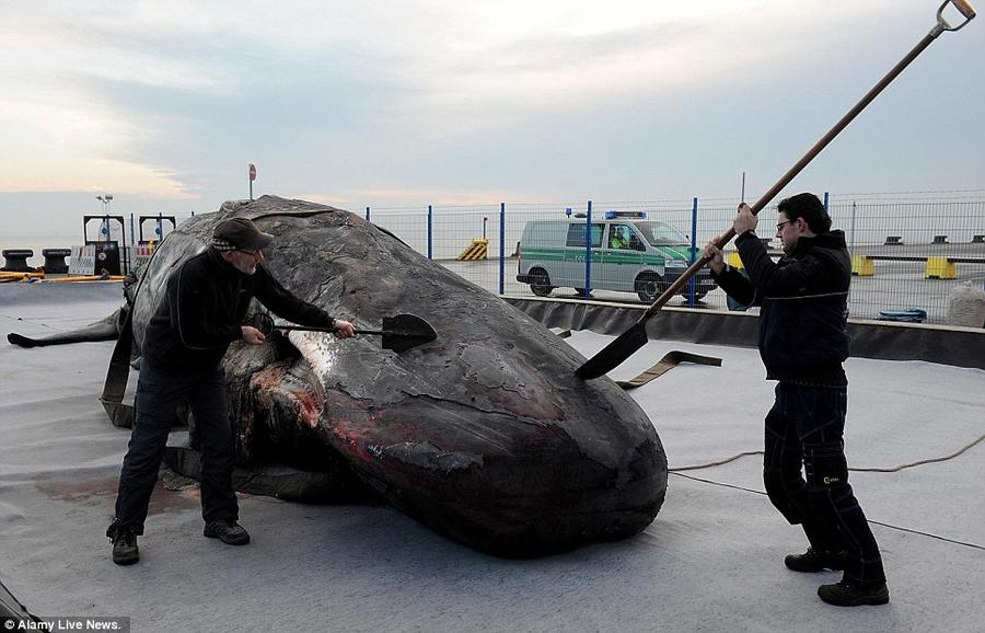 21. Нидерландские специалисты приступают к вскрытию туши кашалота на пирсе в порту ЯдеВезерПорт в Ви