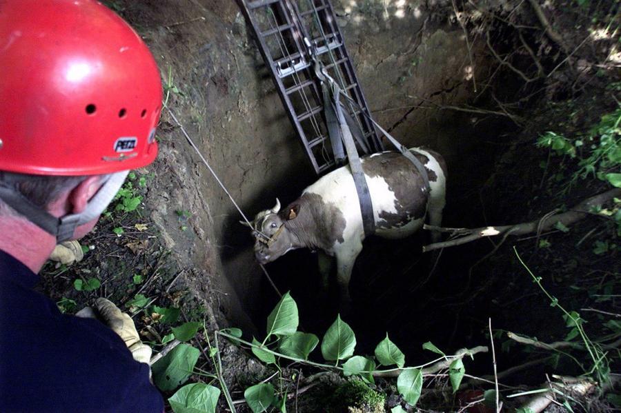 6. Операция по спасению попавшей в карстовую воронку коровы. Это произошло неподалеку от Валансьена,