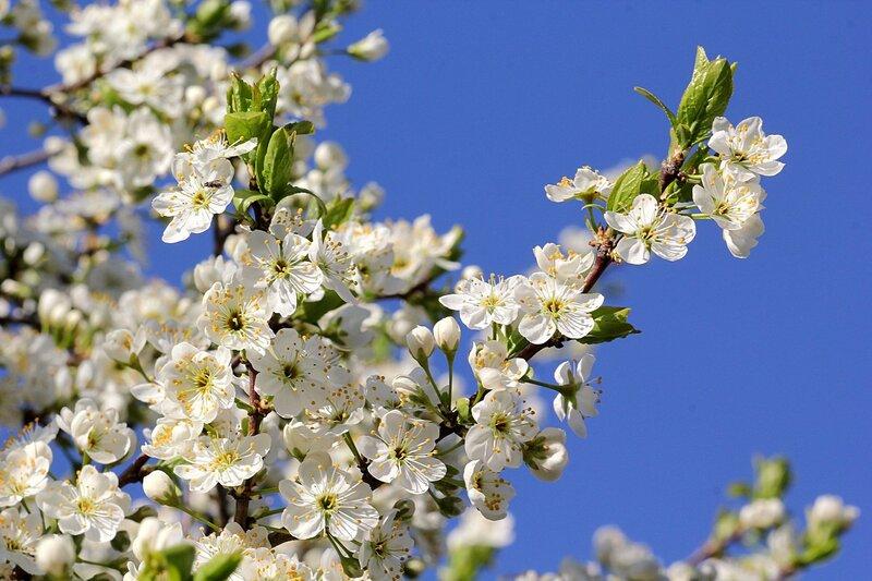 Белые цветы тёрна (терновник, слива колючая, Prunus spinosa) с жёлтыми тычинками - наша северная сакура. Займёмся ханами!