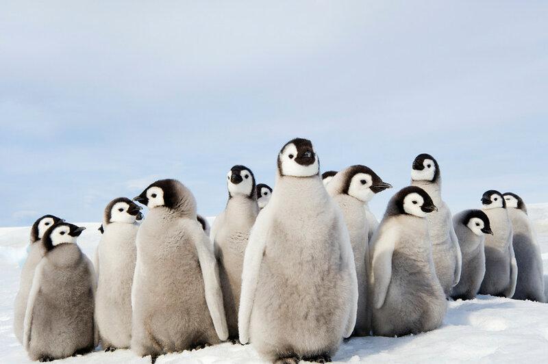 Ясельная группа императорских пингвинов. Автор фото: Mint Images