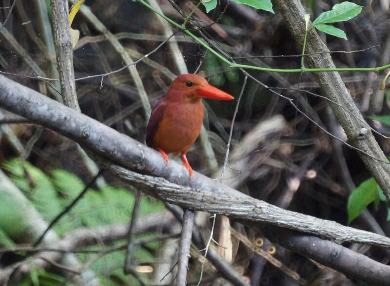 Пламенная альциона - Ruddy Kingfisher