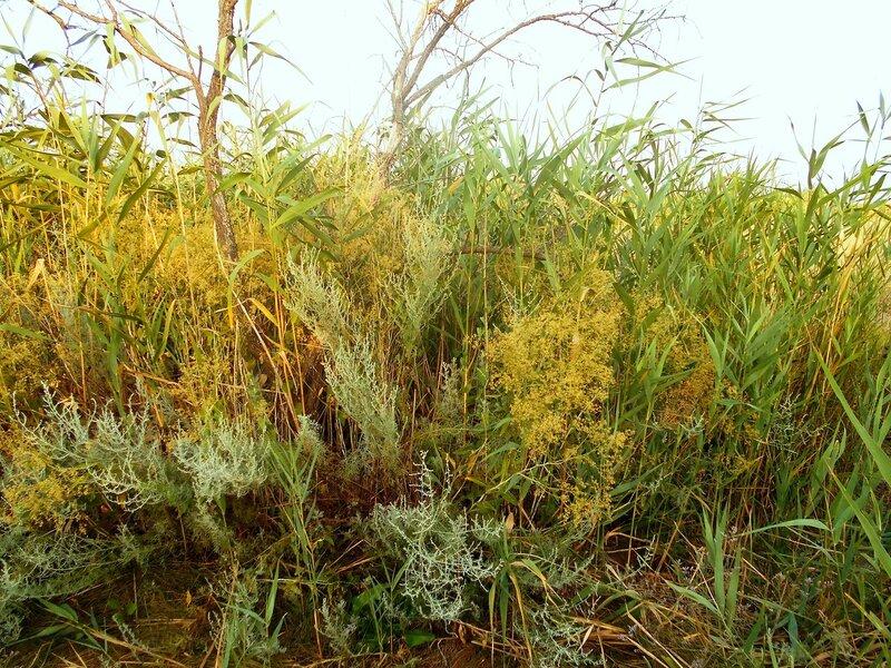 Травы и камыши, в июле на косе ... DSCN7386.JPG