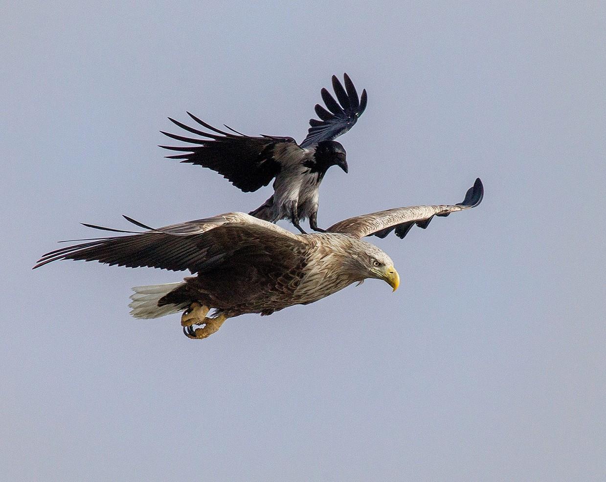 Орел с орлицей картинки