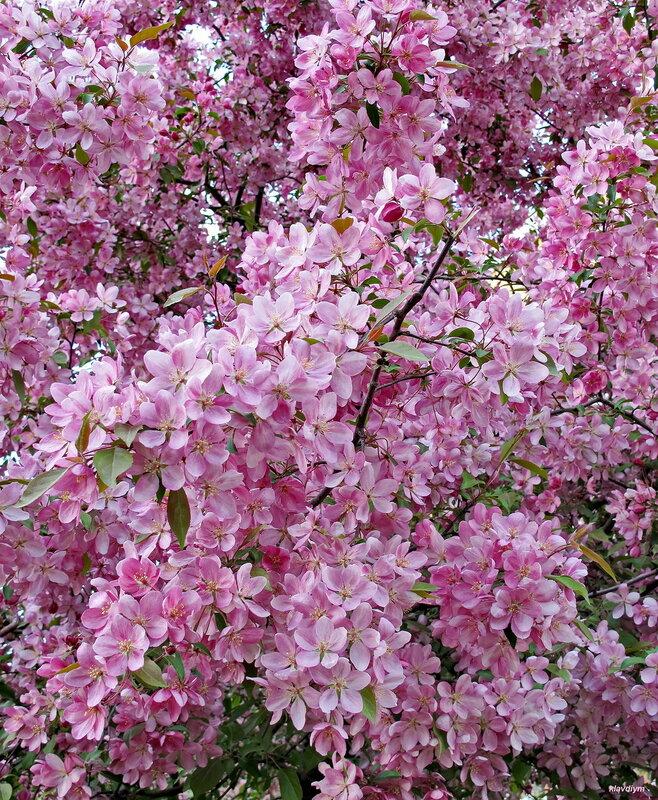 Яблочно-цветочный аромат!