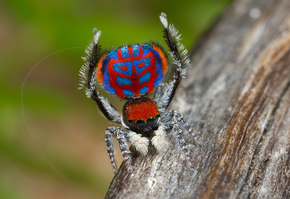Австралийские павлиньи пауки, которые ведут себя, как собаки и кошки