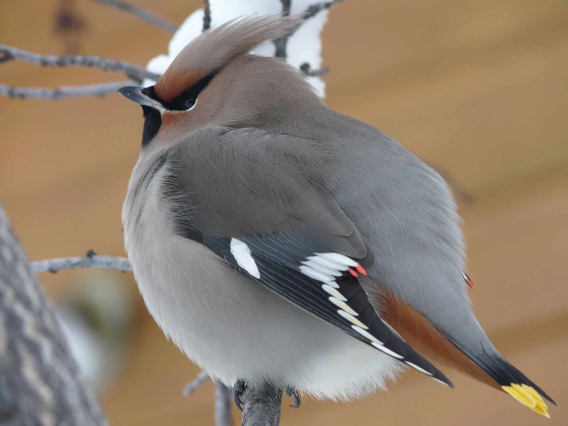 Нахохлившийся пташеня