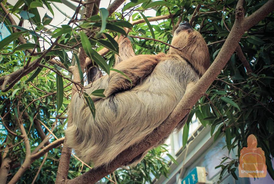 Ленивец в зоопарке