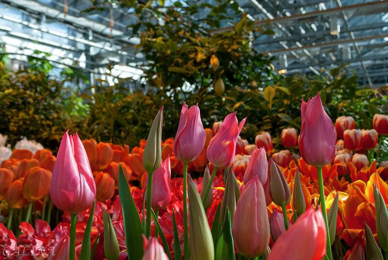 Гордый вид и строгий стан –Это солнечный тюльпан.