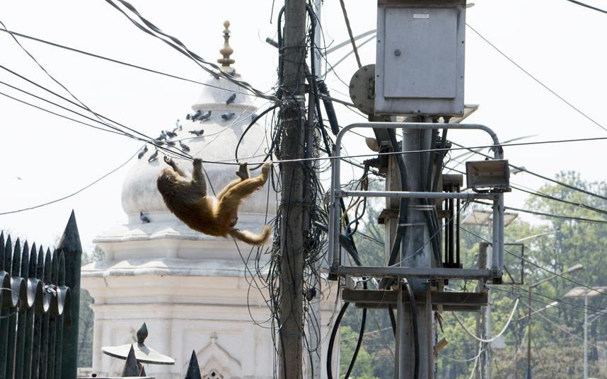 Макака висит на проводах возле храма Пашупатинатх в Катманду, Непал.