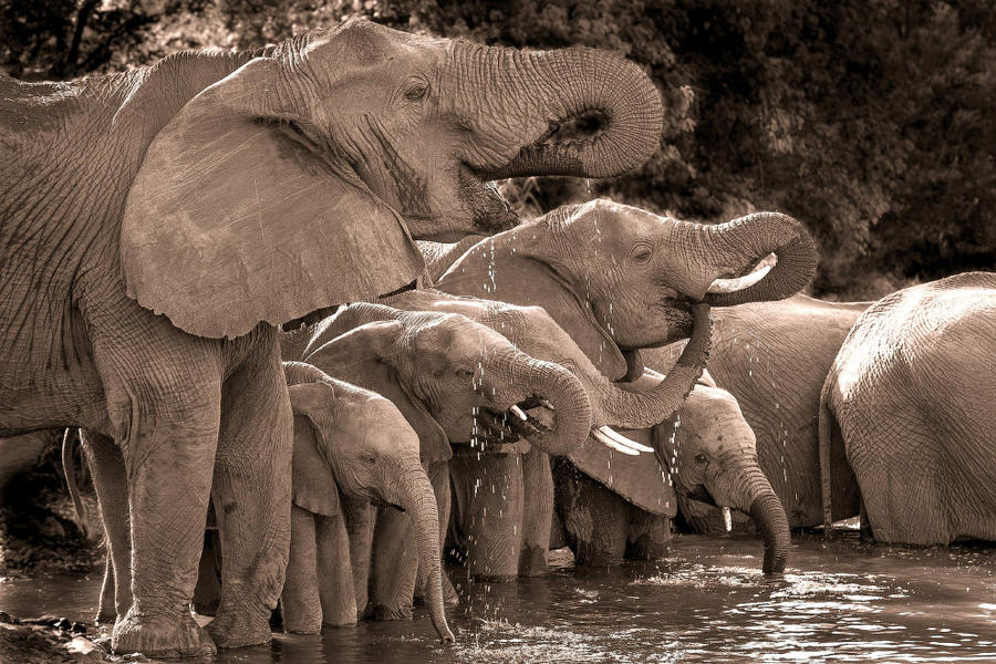 2. Слоны на водопое в Национальном парка Крюгера.