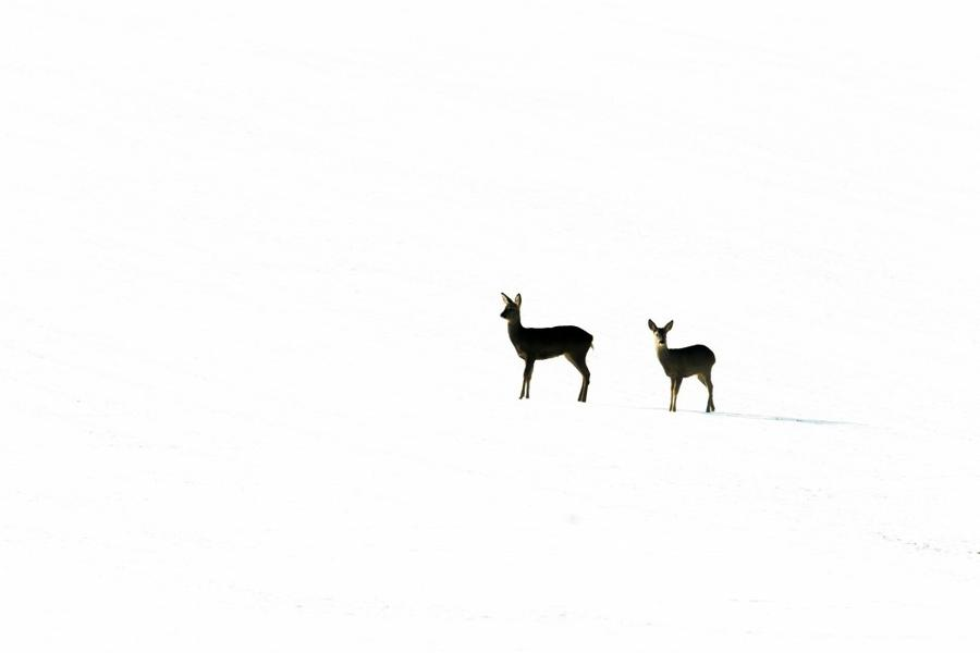 11. Категория «Времена года в Великобритании». Европейские косули (Capreolus capreolus) в снегу. Фот