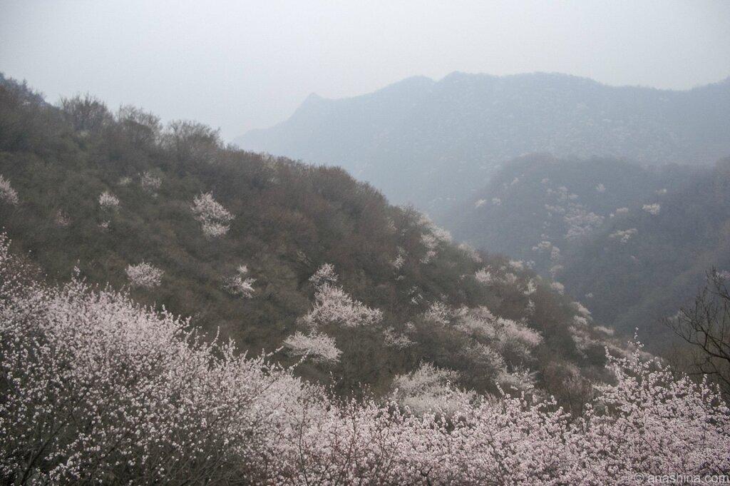 Цветение сакуры в горах, сакура
