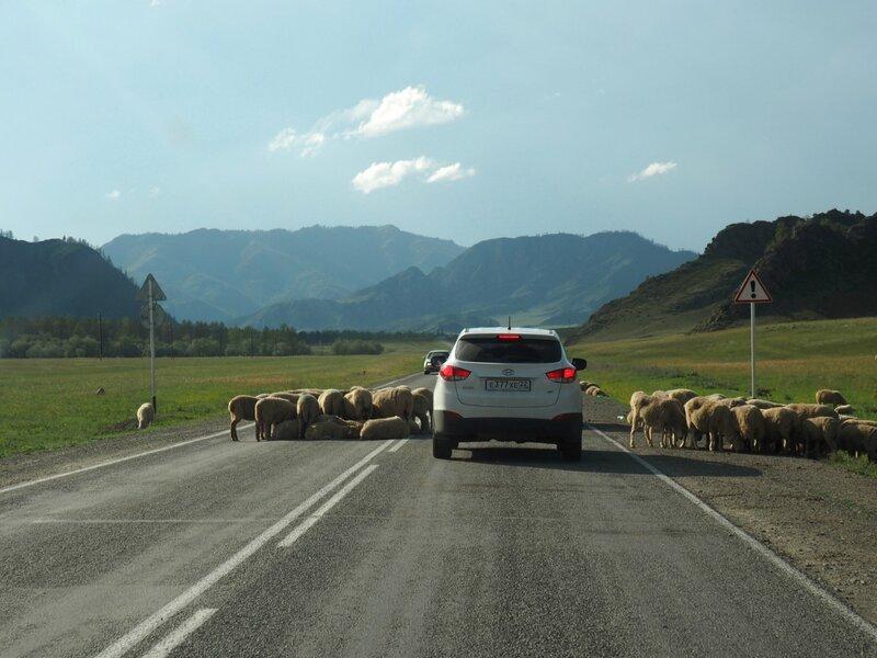 Россия, Горный Алтай – овцы (Russia, Mountain Altai – sheep)