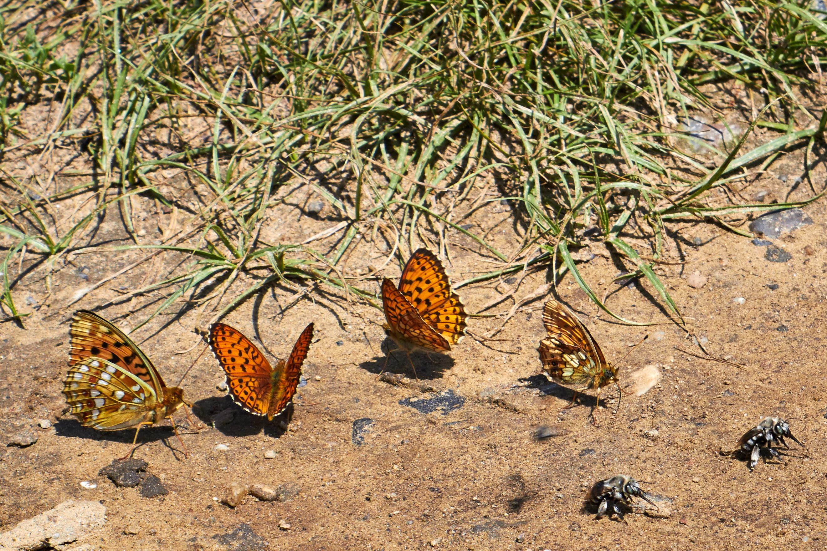 Бабочка червонец фиолетовый (опережая вопросы - самки оранжевые)
